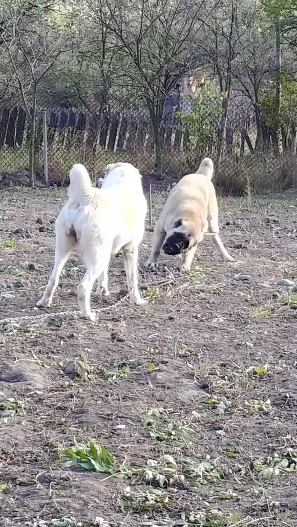 TURKMEN ALABAY COBAN KOPEKLERi OYUN - ALABAi SHEPHERD DOGs GAMES