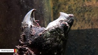 You Won't Guess What Alligator Snapping Turtle's Tongue Looks Like