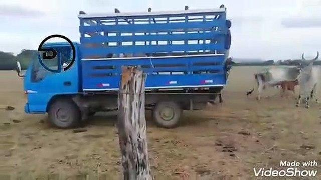 ext-vacas-terneros-recuperados-200520