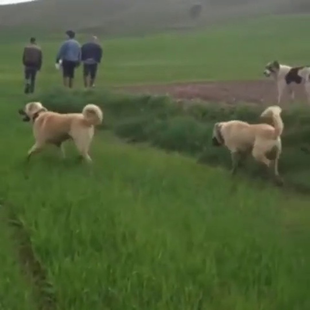 SiVAS KANGAL KOPEKLERi MERA KONTROL - KANGAL SHEPHERD DOGS WALK