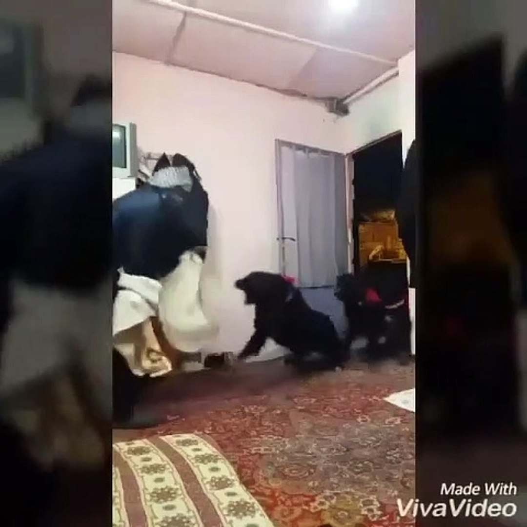 iRAN COBAN KOPEKLERi HIRSIZA MUDAHALE - iRANiAN SHEPHERD DOG and THiEF