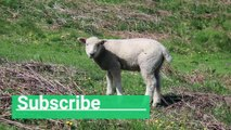 Quiet animal sheep #sheep