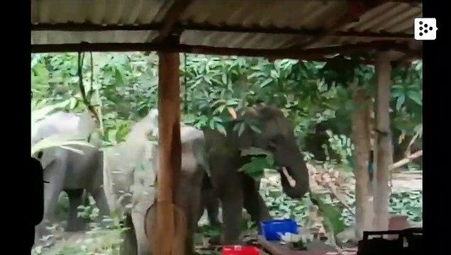 Seis elefantes devastan un jardín en Tailandia en busca de comida