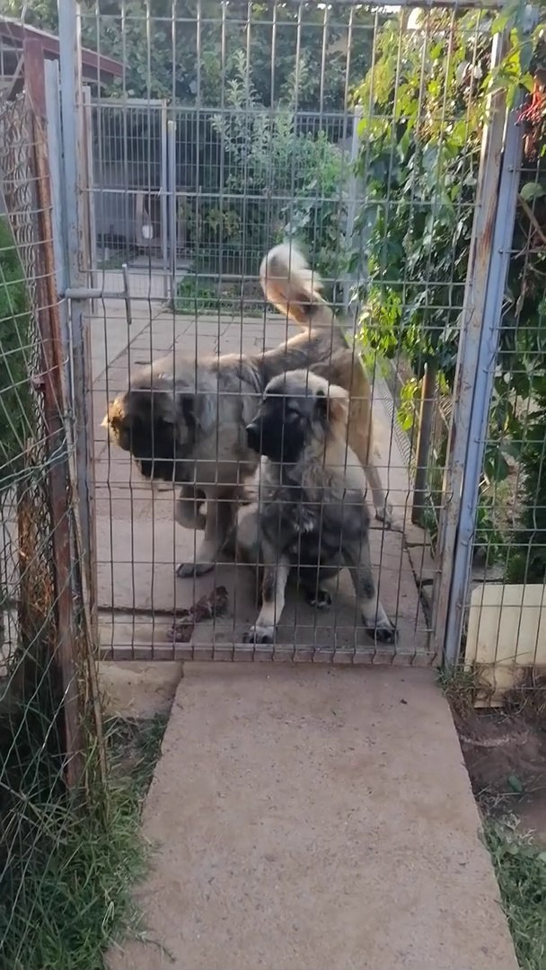 KAFKAS COBAN KOPEGi ve YAVRU - CAUCASiAN SHEPHERD DOG and PUPPY