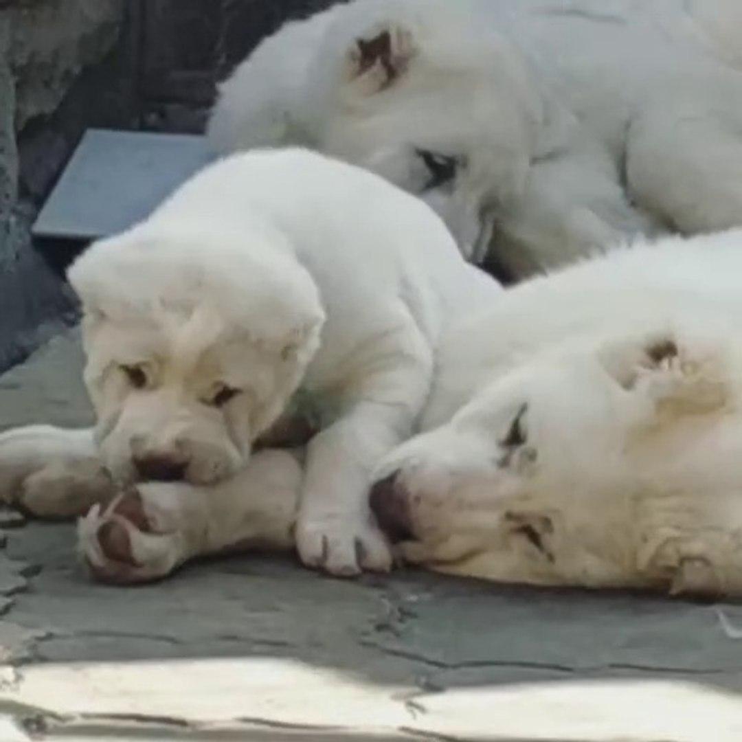 SEViMLi ALABAY COBAN KOPEK YAVRULARI KEYiFTE - CUTE ALABAi SHEPHERD DOG PUPPiES