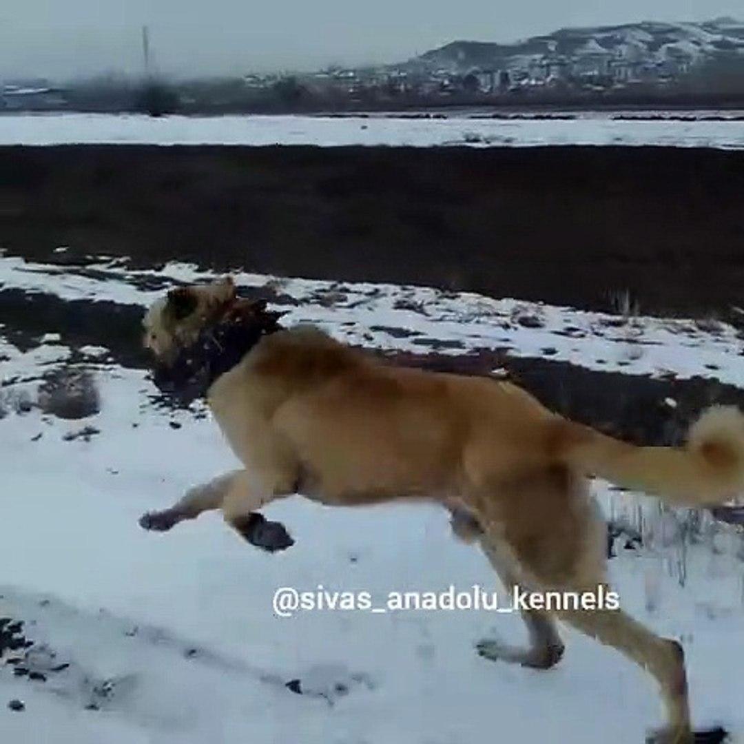 KANGAL KOPEGiNE UZUN KOSU SPORU - KANGAL DOG with EXERCiSE SPORT