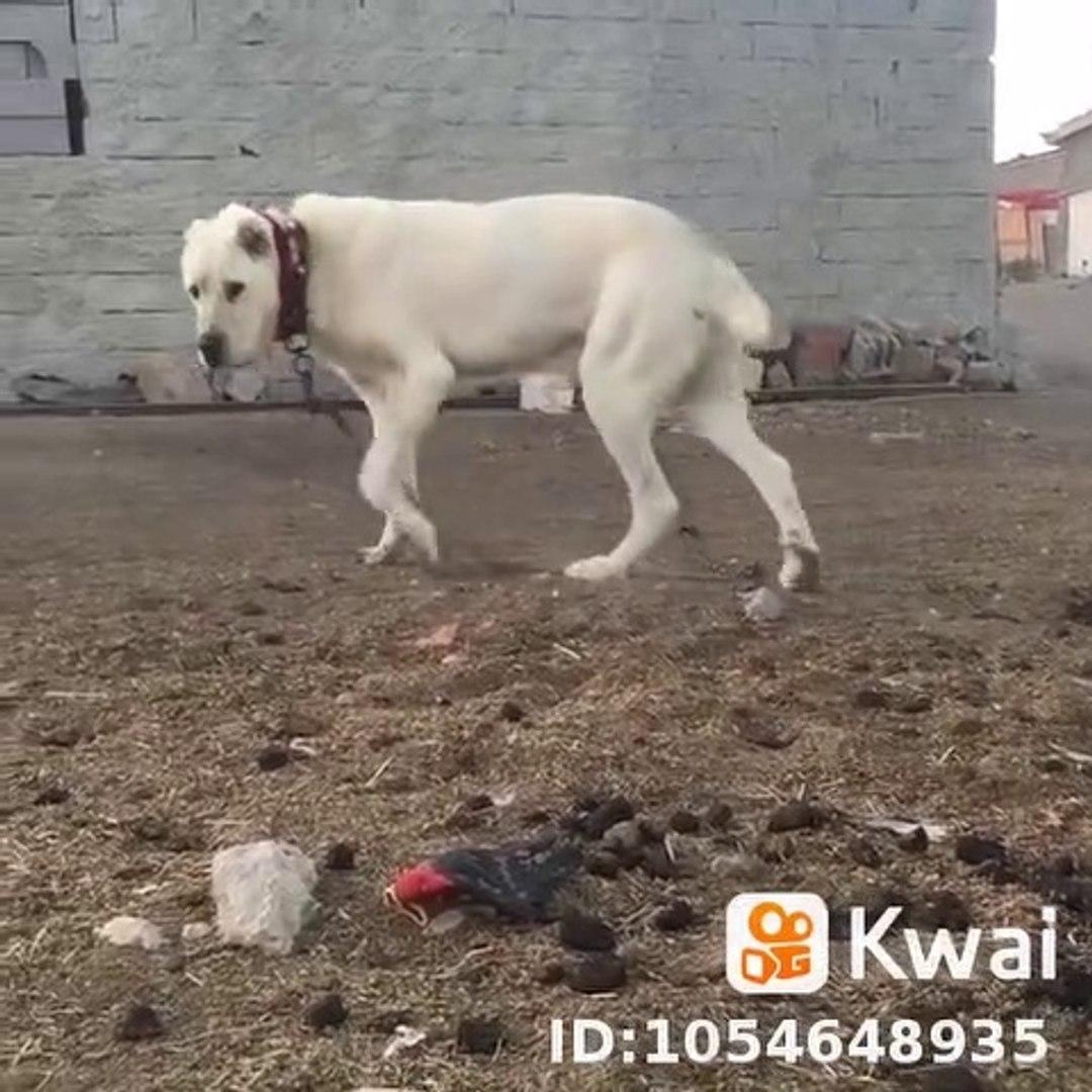 BEYAZ ASLAN gibi COBAN KOPEGi MUBAREK - WHiTE ANATOLiAN SHEPHERD DOG