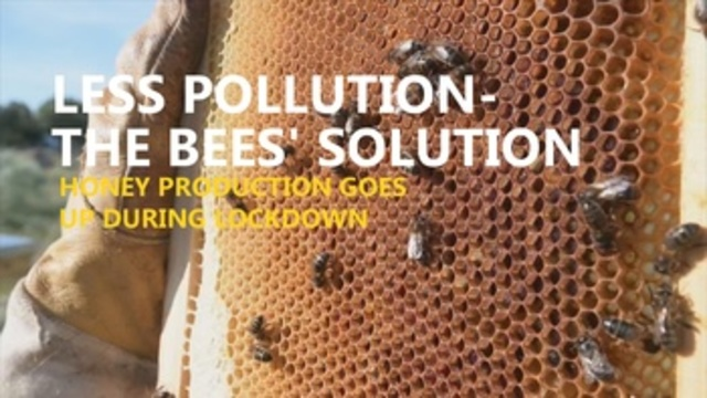 Less pollution, the bees' solution: honey production up during lockdown