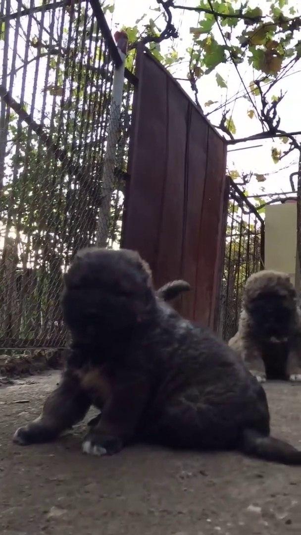 KAFKAS COBAN KOPEGi YAVRULARI BiRARADA - CAUCASiAN SHEPHERD DOG PUPPiES TOGETHER