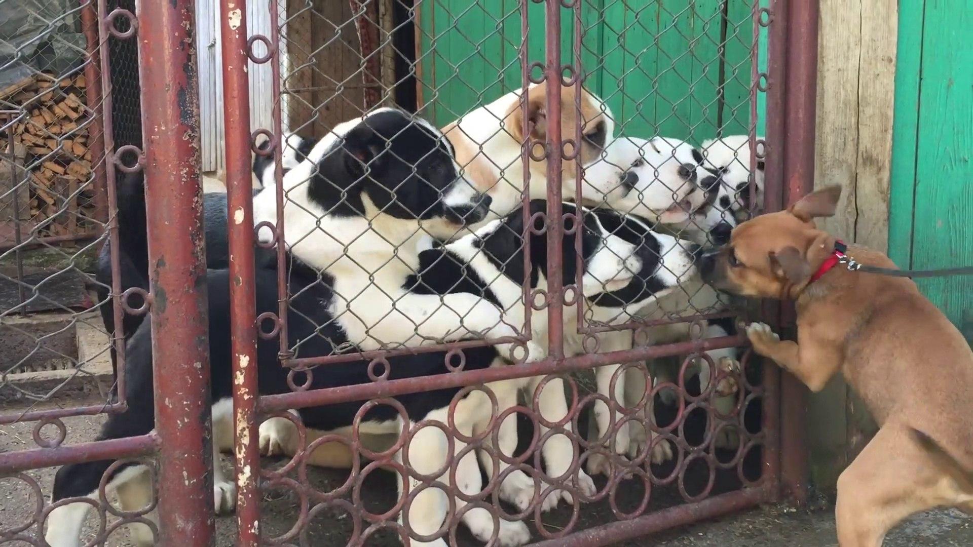 ALABAY YAVRULARI ATISMASI - ALABAi SHEPHERD DOG PUPPiES VS