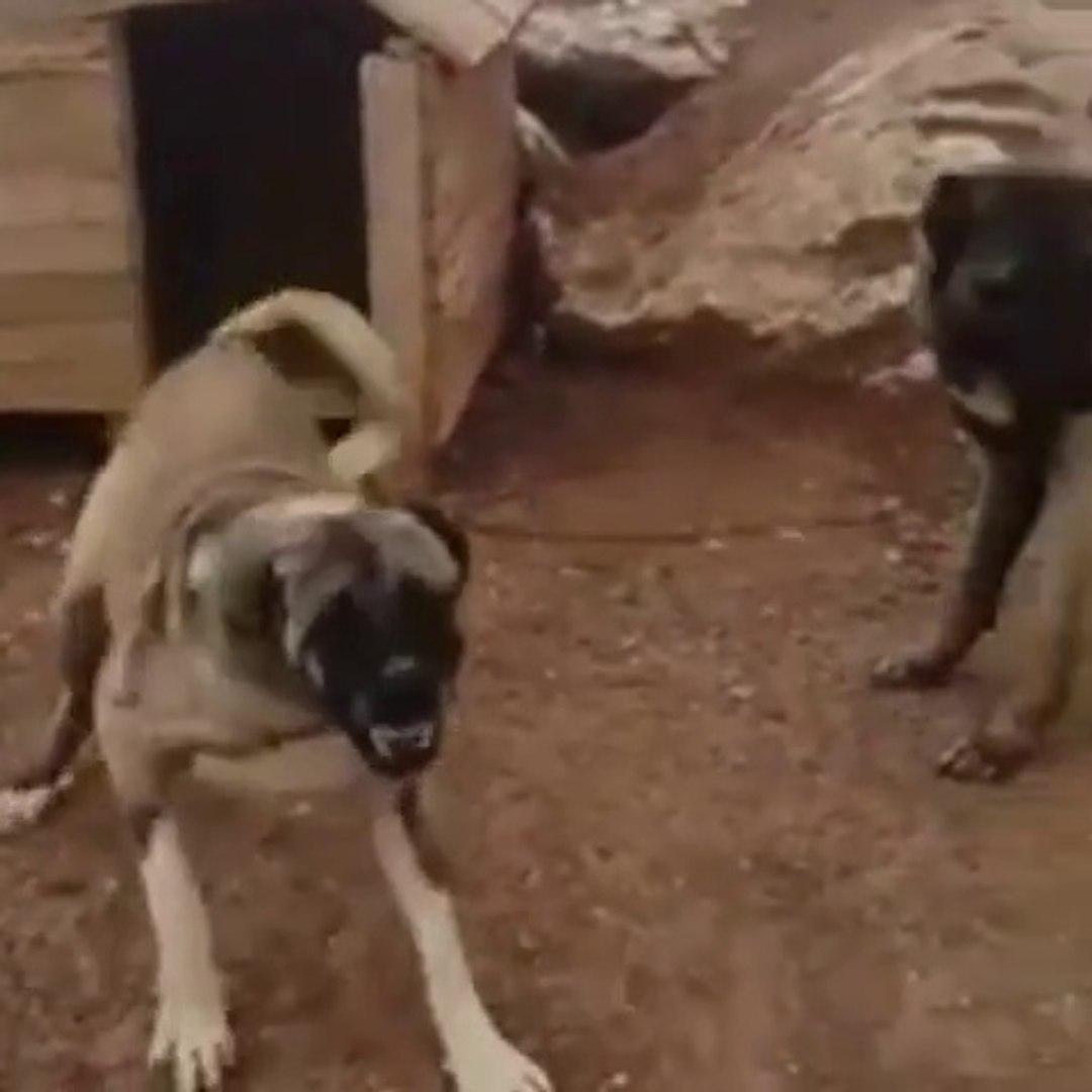ANADOLU COBAN KOPEGi BARUT GiBi - VERY ANGRY AMATOLiAN SHEPHERD DOG