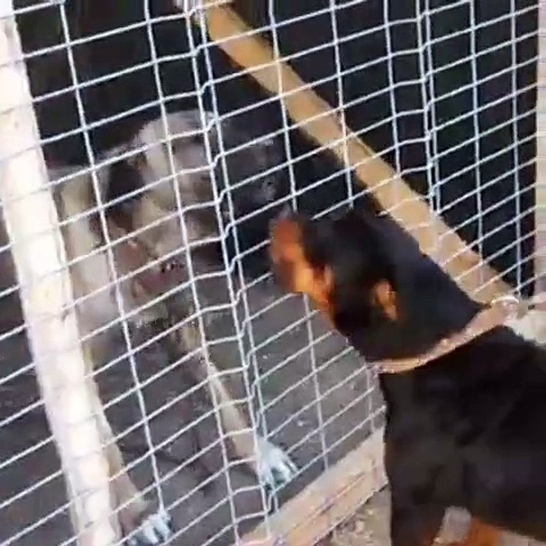 SiVAS KANGAL KOPEGi ve ROTWEiLLER ATISMA - KANGAL DOG VS ROTWEiLLER