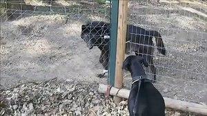 AV KOPEGiNiN KURTLA KARSILASMASI - HUNTiNG DOG FACE TO FACE BLACK WOLF