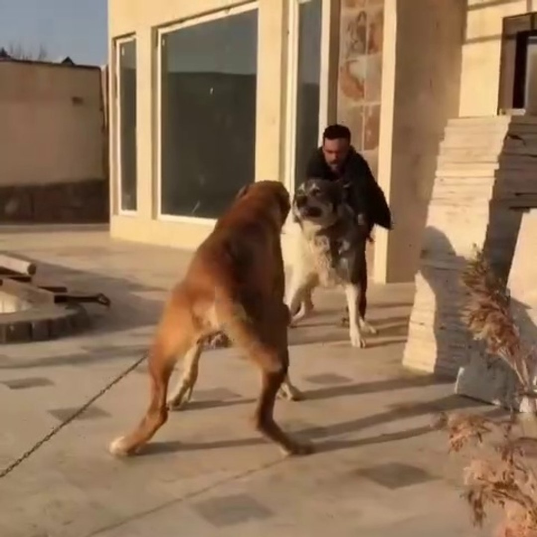iRAN COBAN KOPEKLERiNE ATISMA - PERSiAN SHEPHERD DOGS VS