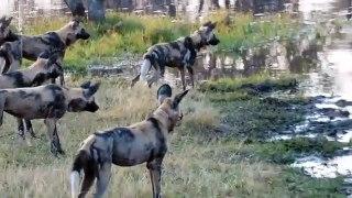 Ces chiens sauvages veulent s'en prendre à un crocodile... Mauvaise idée