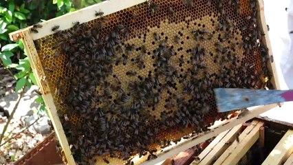 Récolte de miel chez un apiculteur amateur de Jarville