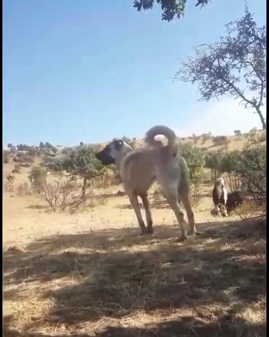 SiVAS KANGAL KOPEGi SESSiZ DiNLEYiS - KANGAL SHEPHERD DOG
