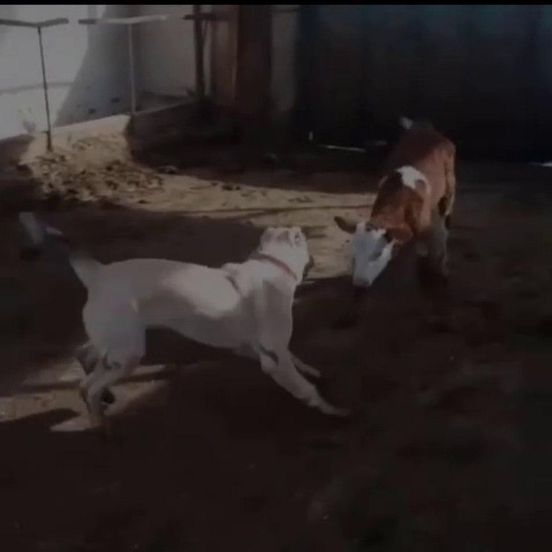 ANADOLU COBAN KOPEGiNiN SEViMLi OYUNLARI - ANATOLiAN SHEPHERD DOG CUTE PLAYS