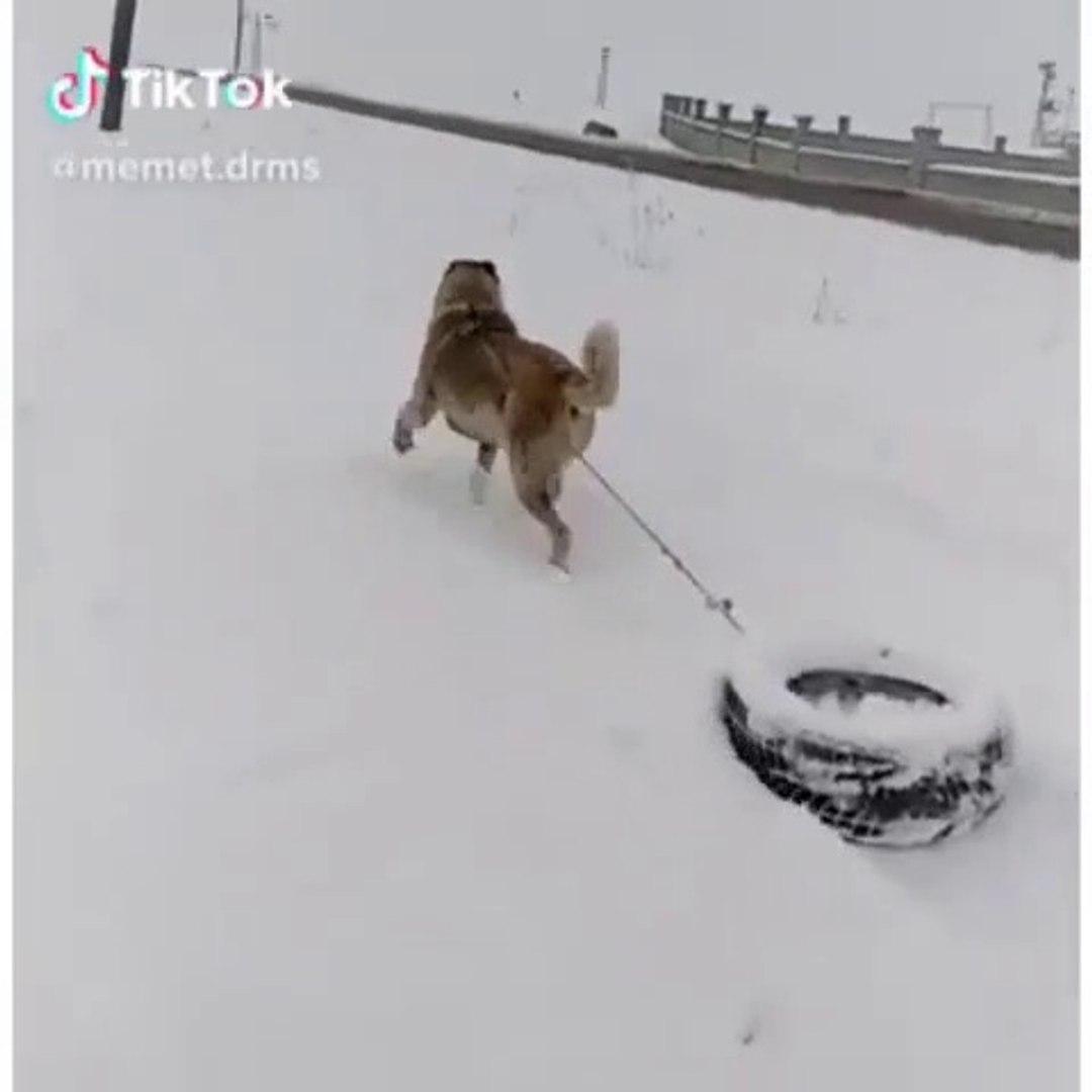 ANADOLU COBAN KOPEGiNE KARDA SPOR - ANATOLiAN SHEPHERD DOG SNOW and EXERCiSE