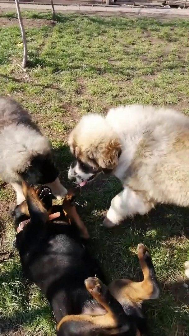 KAFKAS COBAN KOPEKLERi vs ROTTWEiLLER - CAUCASiAN SHEPHERD DOGS vs ROTWEiLLER
