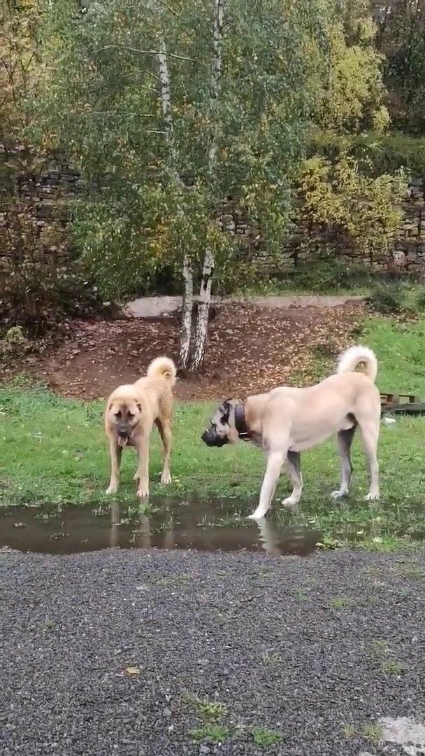 KANGAL COBAN KOPEKLERi ile DOGADA YURUYUS - KANGAL SHEPHERD DOGS with WALK
