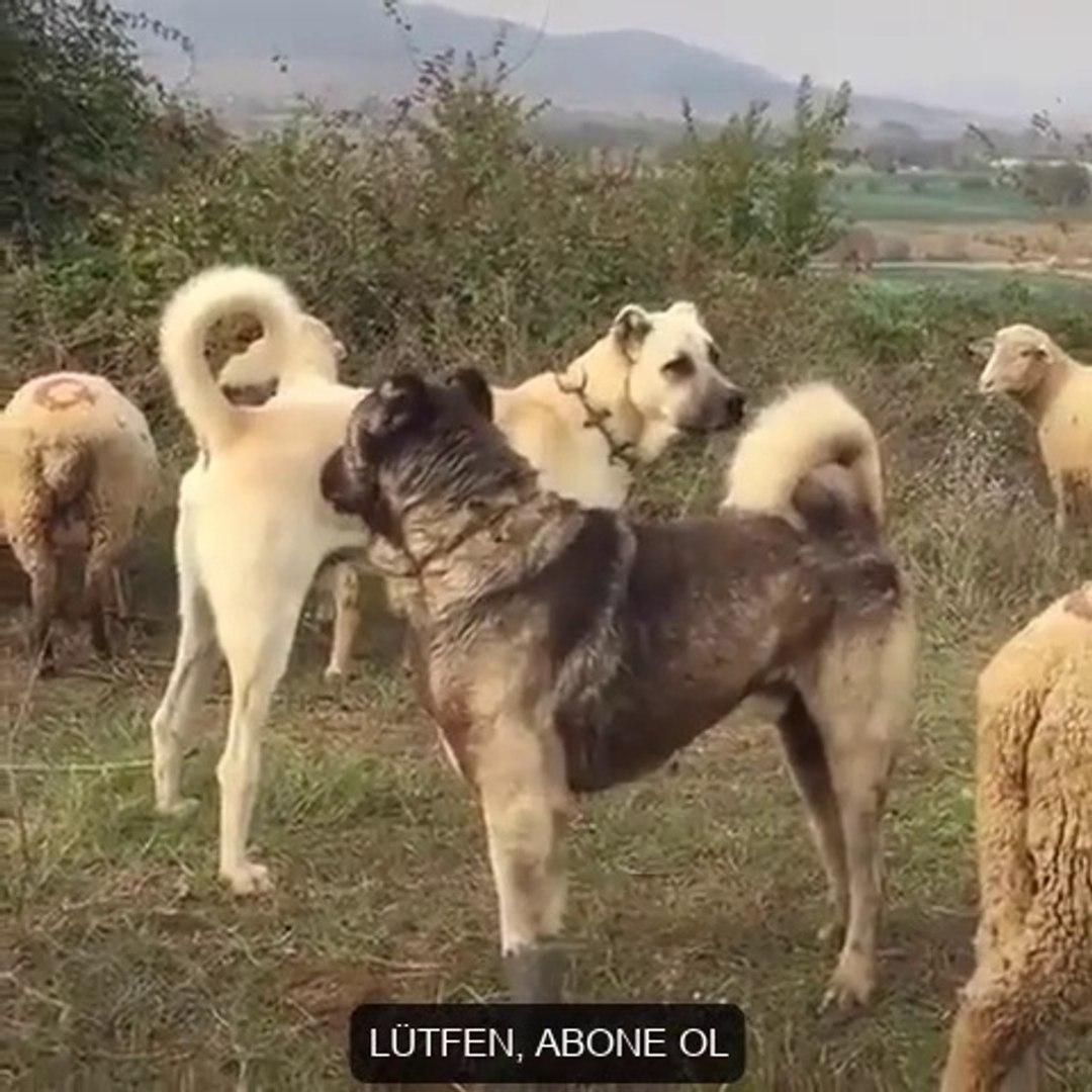 KANGAL KOPEGi ve ANADOLU COBAN KOPEGi KARSILASMA - KANGAL DOG and ANATOLiAN SHEPHERD DOGS ENCOUNTER