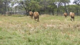 L'heure du repas pour ces lions... Impressionnant