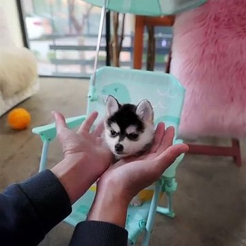 puppies _ TINY Pomsky Male Desirable Black and White Coat, Perfect Husky Marking in Tiny Size.