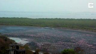 Un lac couvert par des milliers de flamands roses... Impressionnant