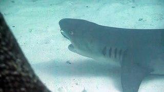 Regardez qui vient nettoyer les dents de ce requin...