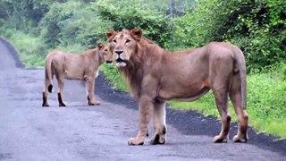 Un motard croise 3 lionnes en balade en pleine route... Belle frayeur