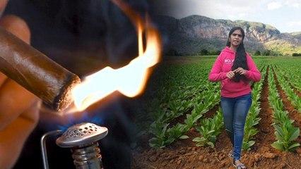 #WorldNoTobaccoDay2020 : Tobacco Farming Process | #TobaccoFreeGeneration || Boldsky Telugu