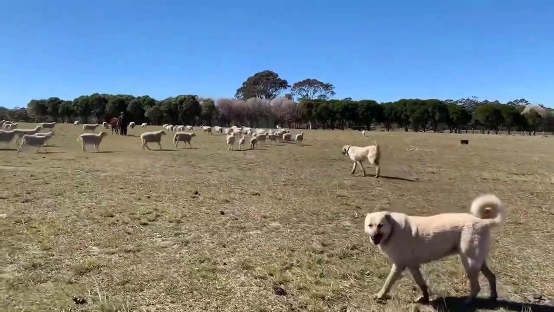 SivAS KANGALLARIN SURU GOREVi - ANATOLiAN SHEPHERD SiVAS KANGAL DOG and SHEEP