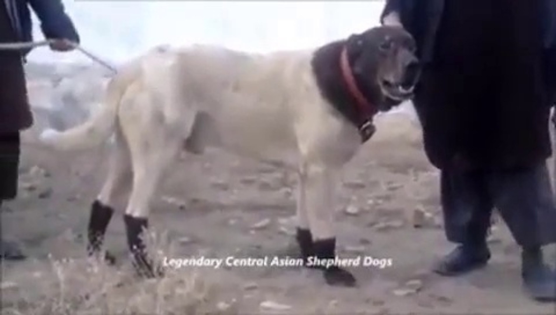 AFGANLILARIN EFSANEVi COBAN KOPEGi - AFGHANiSTAN LEGANDARY SHEPHERD DOG