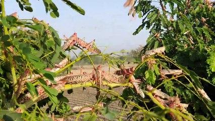 Tiddi Dal In Punjab Village - Worst Locust Attack In Pakistan