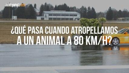 ¿Qué pasa si chocas en coche contra un animal a 80 km/h?