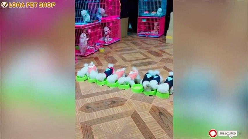 Tik Tok Mini Pomeranian Funny and Cute Pet Compilation