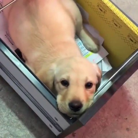 Funniest & Cutest Golden Retriever Puppies #14- Funny Puppy Videos 2020