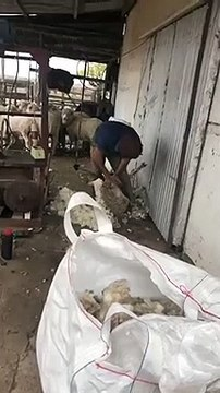 Quand Edinson Cavani tond un mouton en Uruguay