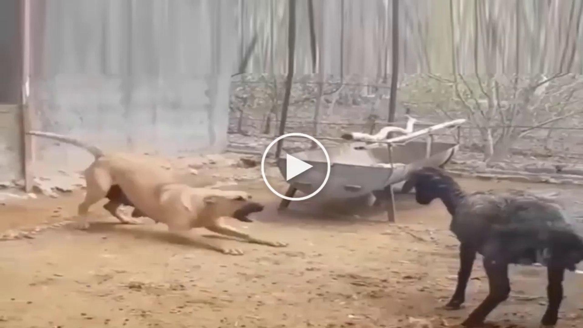 KOYUN vs ANADOLU COBAN KOPEGi - SHEEP vs ANATOLiAN SHEPHERD DOG