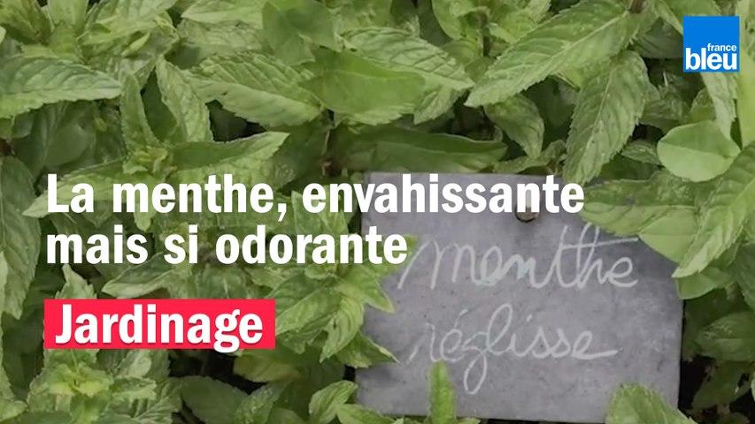 Roland Motte, jardinier : la menthe, envahissante mais si odorante