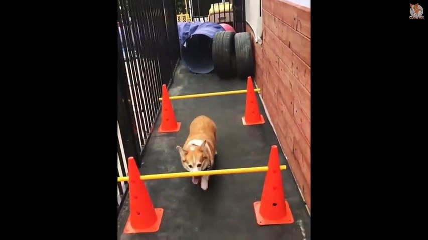 TRY NOT TO LAUGH  - Funny and Cute Corgi Compilation 2019 #18 - Cute animals