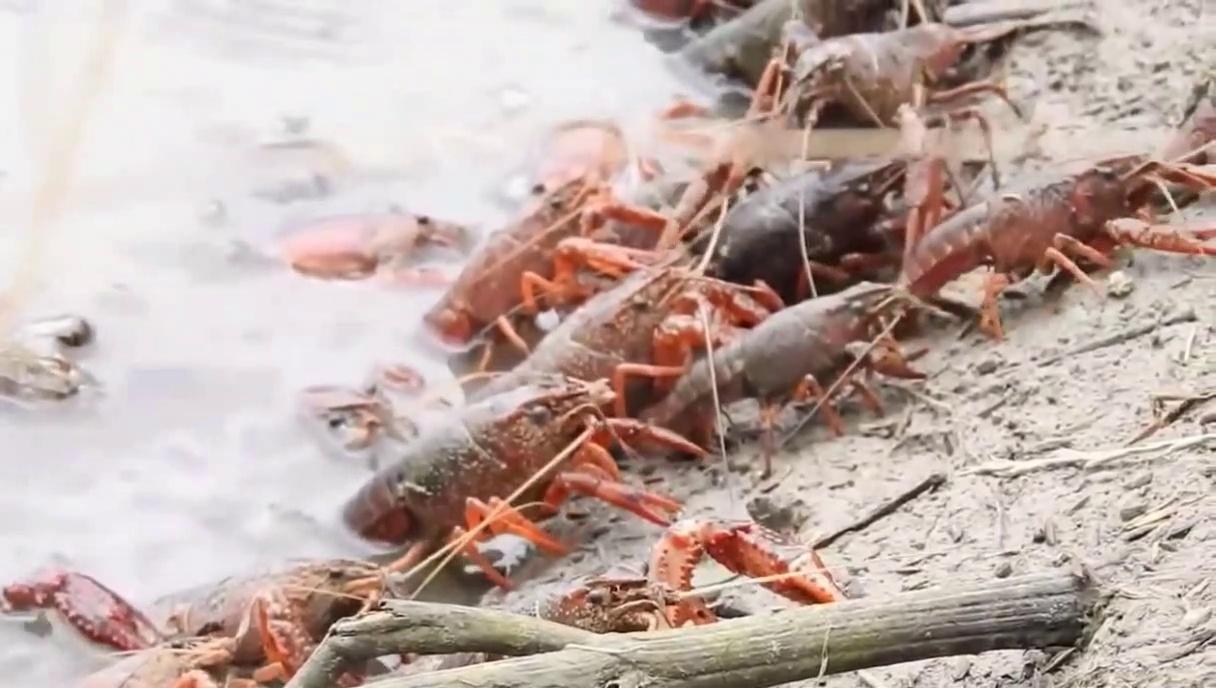 Amazing Shrimp Fishing – Best  Shrimp  Fishing