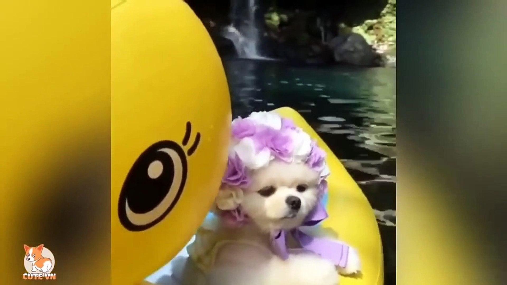 Mini Pomeranian - Funny and Cute Pomeranian Videos 66 - Cute animals
