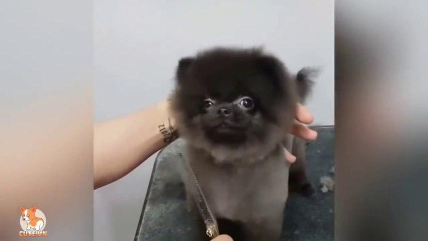 Mini Pomeranian - Funny and Cute Pomeranian Videos - Cute animals