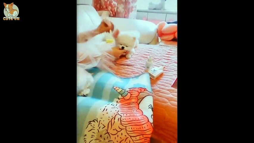 Mini Pomeranian - Funny and Cute Pomeranian Videos #13 - Cute animals