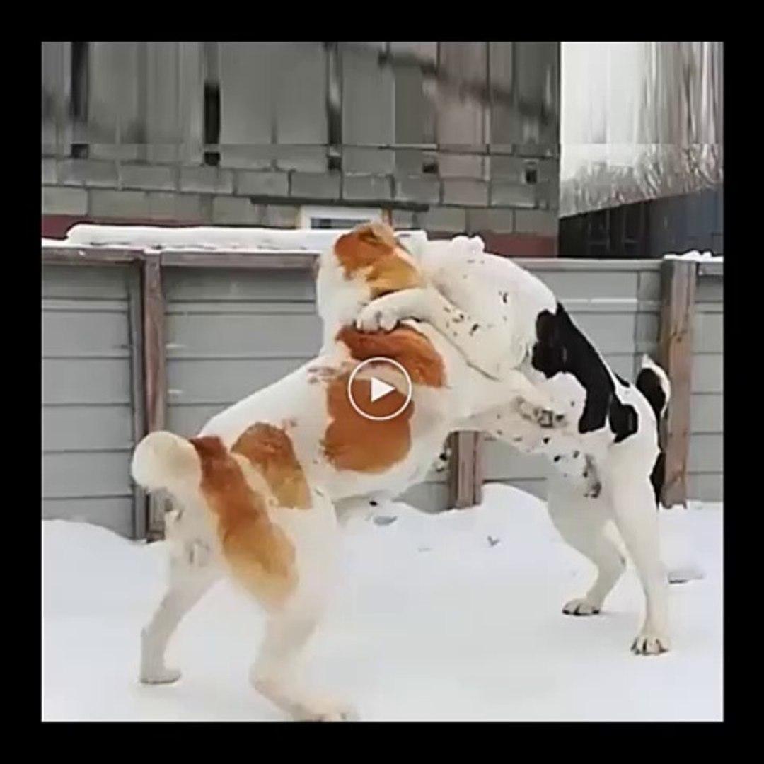ALABAY YAVRULARI VS - ALABAI SHEPHERD DOG PUPPiES VS