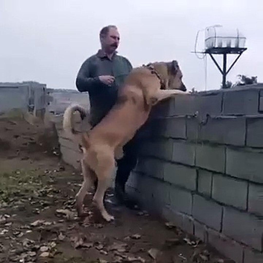 1 ADAM BOYUNDA ANADOLU COBAN KOPEGi - GiANT ANATOLiAN SHEPHERD DOG