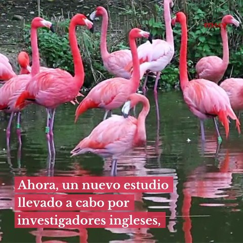 Cuanto más rosa sea un flamenco, más agresivo es