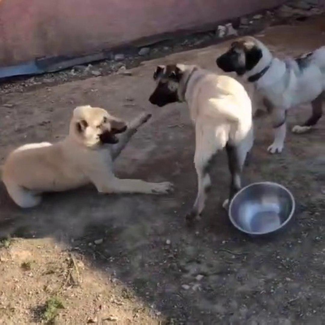 3 ANADOLU COBAN KOPEGi KARDESLERiN MUCADELESi - 3 ANATOLiAN SHEPHERD DOG BROTHER VS